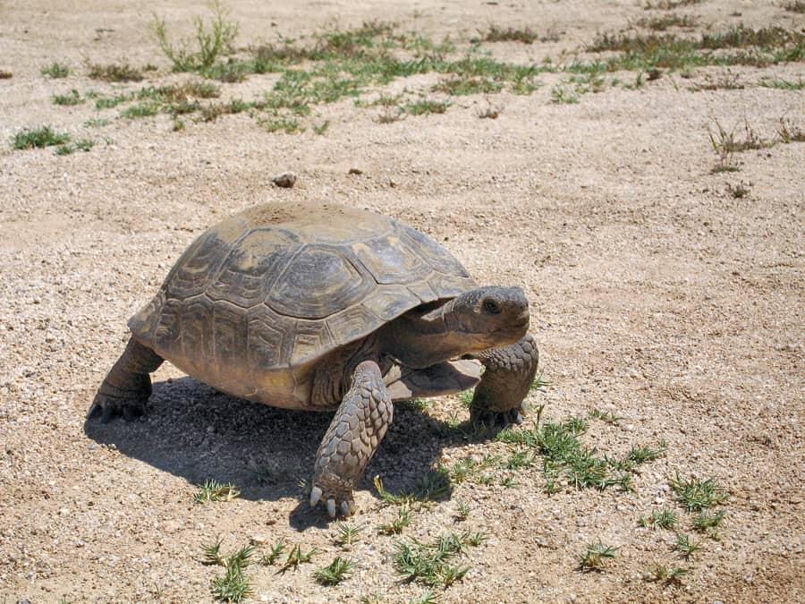 Desert tortoise  image credit NPS Robb Hannawacker