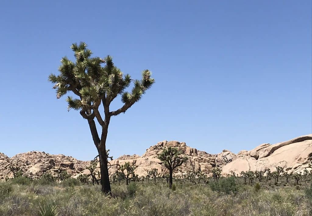 Joshua trees look like they are a creation of Dr Seuss'