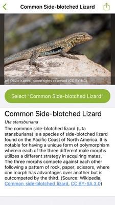 iNaturalist screenshot IDing lizard